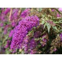Sommerflieder / Schmetterlingsstrauch 'Nanho Purple', 40-60 cm, Buddleja davidii 'Nanho Purple', Containerware