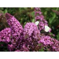 Sommerflieder / Schmetterlingsstrauch 'Pink Delight', 100-125 cm, Buddleja davidii 'Pink Delight', Containerware