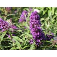 Sommerflieder / Schmetterlingsstrauch 'Purple Emperor', 30-40 cm, Buddleja davidii 'Purple Emperor', Containerware