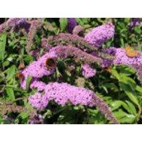 Sommerflieder / Schmetterlingsstrauch 'Purple Prince', 40-60 cm, Buddleja davidii 'Purple Prince', Containerware