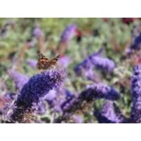 Sommerflieder / Schmetterlingsstrauch 'Reve de Papillon' ® Blue, 30-40 cm, Buddleja davidii 'Reve de Papillon' ® Blue, Containerware