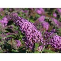 Sommerflieder / Schmetterlingsstrauch 'Reve de Papillon' ® Pink, 30-40 cm, Buddleja davidii 'Reve de Papillon' ® Pink, Containerware