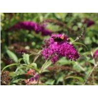 Sommerflieder / Schmetterlingsstrauch 'Royal Red', 100-125 cm, Buddleja davidii 'Royal Red', Containerware