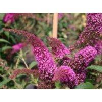 Sommerflieder / Schmetterlingsstrauch 'Summer Beauty', 30-40 cm, Buddleja davidii 'Summer Beauty', Containerware