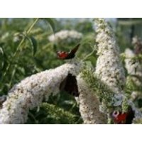 Sommerflieder / Schmetterlingsstrauch 'White Profusion', 100-125 cm, Buddleja davidii 'White Profusion', Containerware