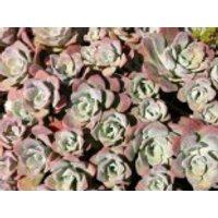 Spatelblättriges Fettblatt 'Purpureum', Sedum spathulifolium 'Purpureum', Topfware