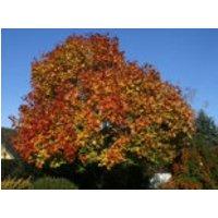Spitzahorn, 100-150 cm, Acer platanoides, Wurzelware