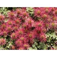 Braunblättriges Stachelnüsschen, Acaena microphylla, Topfware