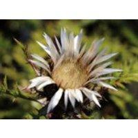 Stängel Silberdistel, Carlina acaulis subsp. simplex, Topfware