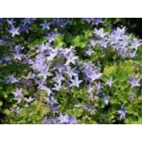 Sternpolster-Glockenblume, Campanula garganica, Topfware