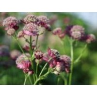 Sterndolde 'Ruby Cloud', Astrantia major 'Ruby Cloud', Containerware