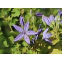 Sternförmige Glockenblume 'Filigree', Campanula garganica 'Filigree', Topfware