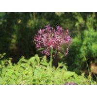 Sternkugel Lauch, Allium christophii, Topfware