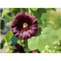 Stockrose 'Nigra', Alcea rosea 'Nigra', Topfware