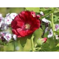 Einfachblühende Stockrose Spotlight-Series 'Mars Magic', Alcea rosea Spotlight-Serie 'Mars Magic', Topfware