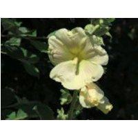Eichfachblühende Stockrose Spotlight-Series 'Sunshine', Alcea rosea Spotlight-Series 'Sunshine', Topfware