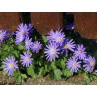Strahlen-Windröschen 'Blue Shades', Anemone blanda 'Blue Shades', Topfware