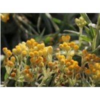 Strohblume 'Goldkind', Helichrysum thianshanicum 'Goldkind', Topfware