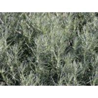 Currykraut 'Tall', Helichrysum italicum 'Tall', Topfware