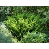 Sumpf-Lappenfarn, Thelypteris palustris, Topfware