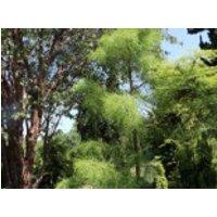 Sumpf-Zypresse 'Nutans', 40-50 cm, Taxodium distichum 'Nutans', Containerware