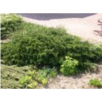Nadelbäume u. Koniferen - Tafeleibe / Kisseneibe / Bodendeckereibe 'Repandens', 15-25 cm, Taxus baccata 'Repandens', Containerware