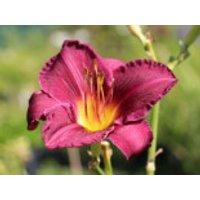 Taglilie 'Lavender Deal', Hemerocallis x cultorum 'Lavender Deal', Topfware