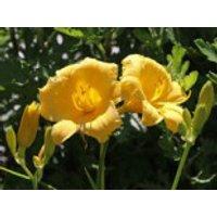 Taglilie 'Stella de Oro', Hemerocallis x cultorum 'Stella de Oro', Containerware