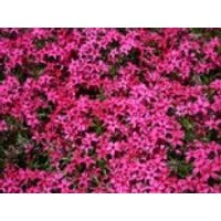 Teppich-Flammenblume 'Scarlet Flame', Phlox subulata 'Scarlet Flame', Containerware