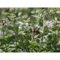 Traubige Katzenminze 'Snowflake', Nepeta racemosa 'Snowflake', Topfware