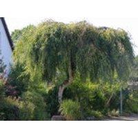 Trauerbirke 'Youngii', Stamm 125 cm, Betula pendula 'Youngii', Stämmchen