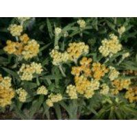 Turkestan Strohblume 'Schwefellicht', Helichrysum thianshanicum 'Schwefellicht', Topfware