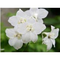 Verzweigter Rittersporn 'Moerheimii', Delphinium x belladonna 'Moerheimii', Topfware