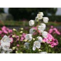 Verzweigter Rittersporn 'Schneewittchen', Delphinium x belladonna 'Schneewittchen', Topfware