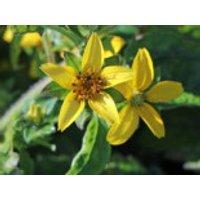 Virginia-Goldkörbchen, Chrysogonum virginianum, Containerware