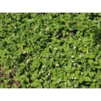 Wald-Erdbeere, Fragaria vesca var. vesca, Topfware