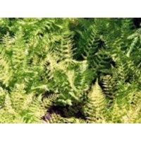 Wald-Frauenfarn, Athyrium filix-femina, Containerware