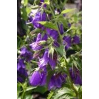Wald Glockenblume, Campanula latifolia var. macrantha, Topfware