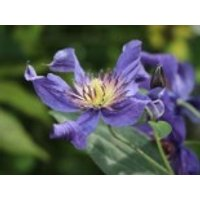 Waldrebe 'Blue Pyrouette', 60-100 cm, Clematis integrifolia 'Blue Pyrouette', Containerware