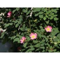 Weinrose / Schottische Zaunrose, 60-100 cm, Rosa rubiginosa, Containerware