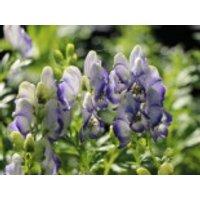 Weißblaublühender Eisenhut 'Bicolor', Aconitum x cammarum 'Bicolor', Topfware