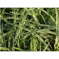 Weißbunte Japan Segge 'Variegata', Carex morrowii 'Variegata', Containerware