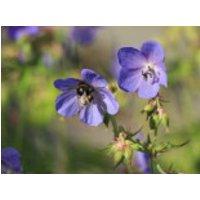 Wiesen Storchschnabel, Geranium pratense, Topfware