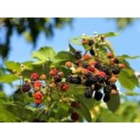 Wilde Brombeere, 30-40 cm, Rubus fruticosus, Topfware