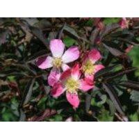 Wildrose Hechtrose / Rotblättrige Rose glauca, 40-60 cm, Rosa glauca, Containerware