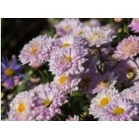 Winteraster 'Andante', Chrysanthemum x hortorum 'Andante', Topfware