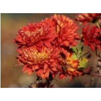 Winteraster 'Brennpunkt', Chrysanthemum x hortorum 'Brennpunkt', Topfware
