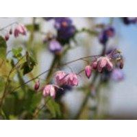 Zierliche Elfenblume 'Roseum', Epimedium x youngianum 'Roseum', Topfware