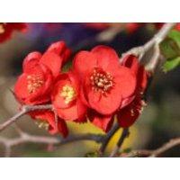 Blütensträucher und Ziergehölze - Zierquitte 'Crimson and Gold', 40-60 cm, Chaenomeles 'Crimson and Gold', Containerware