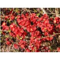 Blütensträucher und Ziergehölze - Zierquitte 'Red Joy', 40-60 cm, Chaenomeles 'Red Joy', Containerware